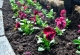 В мае в Таганроге высадят 22 тысячи цветов